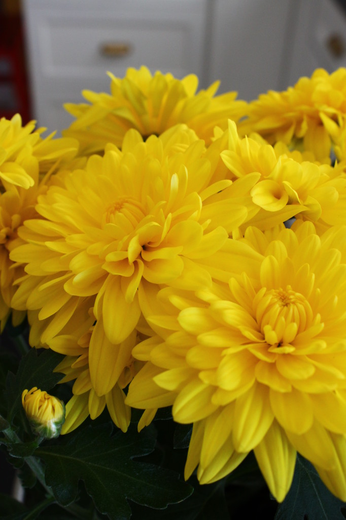 Yellow mums. Can't say it's spring flower, but still love the vivid color.