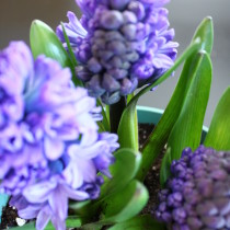 Hyacinths. Love their cute bud shapes, color and  strong fragrance.